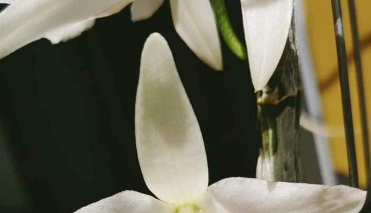 Chủ vườn lan Duy Tóc 4